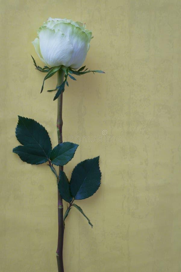 Fiore della rosa di bianco su fondo colorato fotografie stock