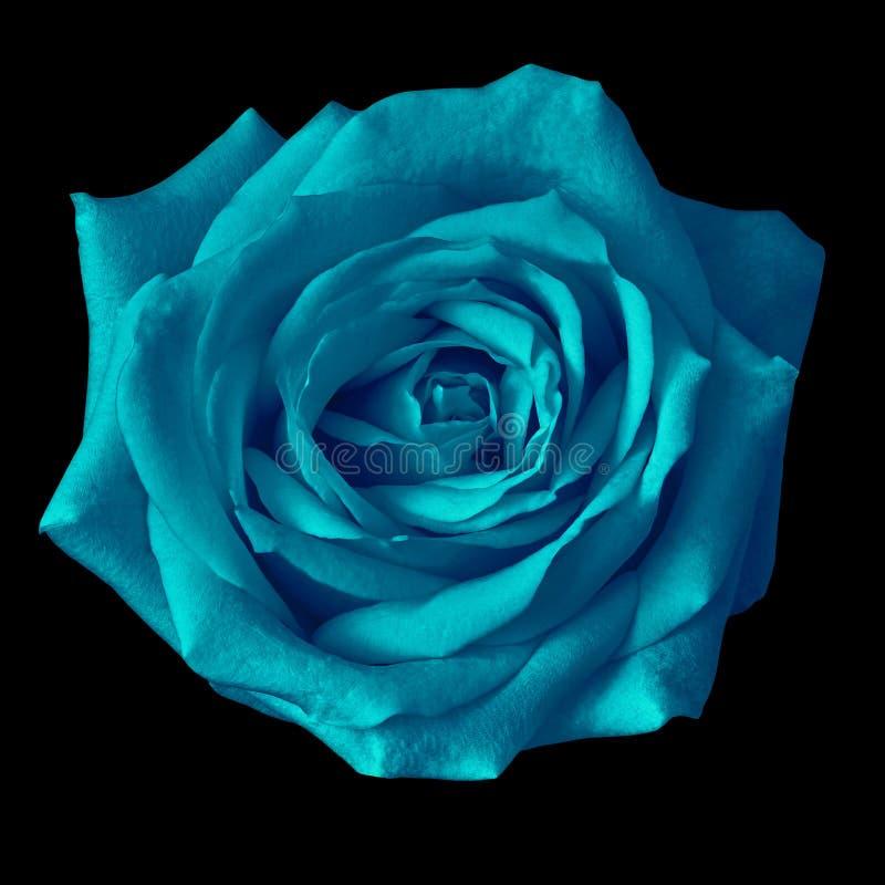 Fiore della rosa di ceruleo isolato su un fondo nero closeup immagine stock