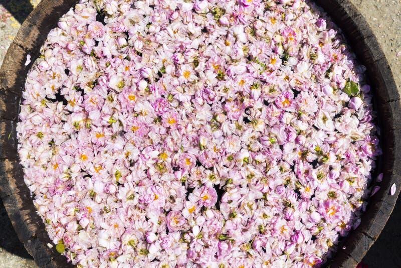 Fiore della rosa di rosa in vaso-ancora immagine stock