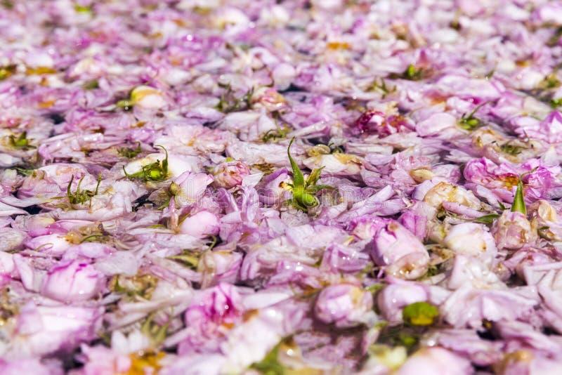 Fiore della rosa di rosa in vaso-ancora fotografie stock libere da diritti