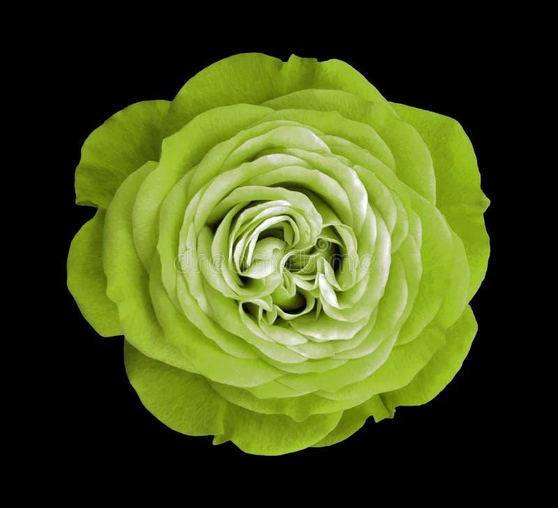 Fiore della rosa di verde fondo isolato il nero con il percorso di ritaglio nave Primo piano nessun ombre fotografia stock libera da diritti
