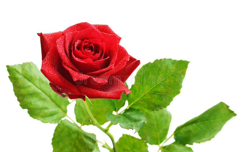 Fiore della rosa rossa fotografie stock