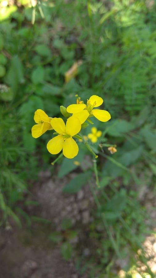 Fiore della senape, carta da parati del fiore della senape fotografie stock