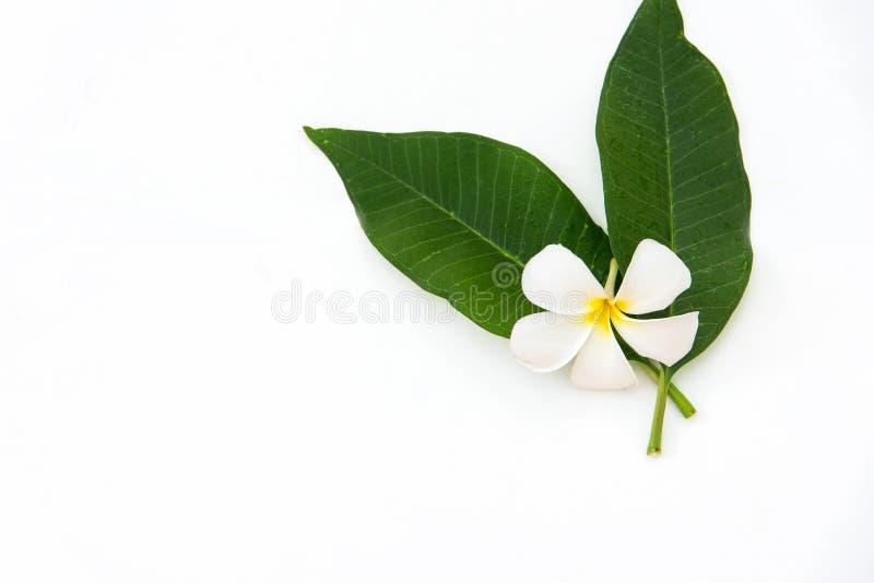 Fiore della stazione termale di plumeria del frangipane su di legno bianco STAZIONE TERMALE tailandese immagini stock