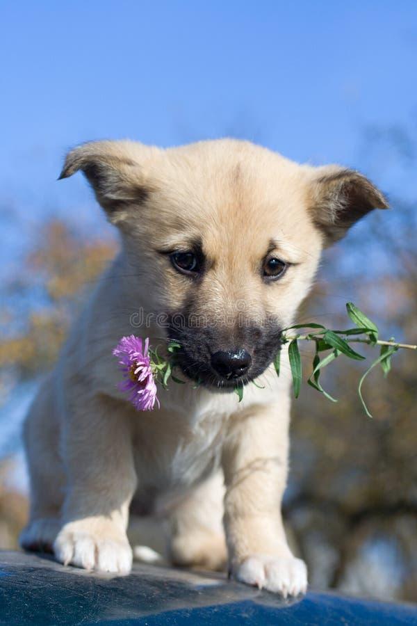 Fiore della stretta del cane del cucciolo in bocca 3 fotografie stock libere da diritti