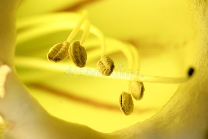 Fiore della tazza dorata immagini stock