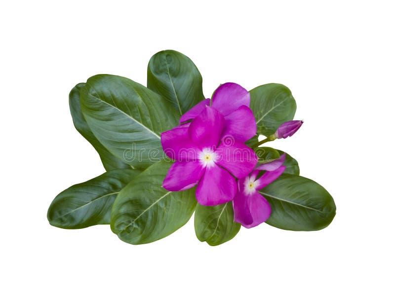 Fiore della vinca del Madagascar o di catharanthus roseus isolato su fondo bianco fotografia stock