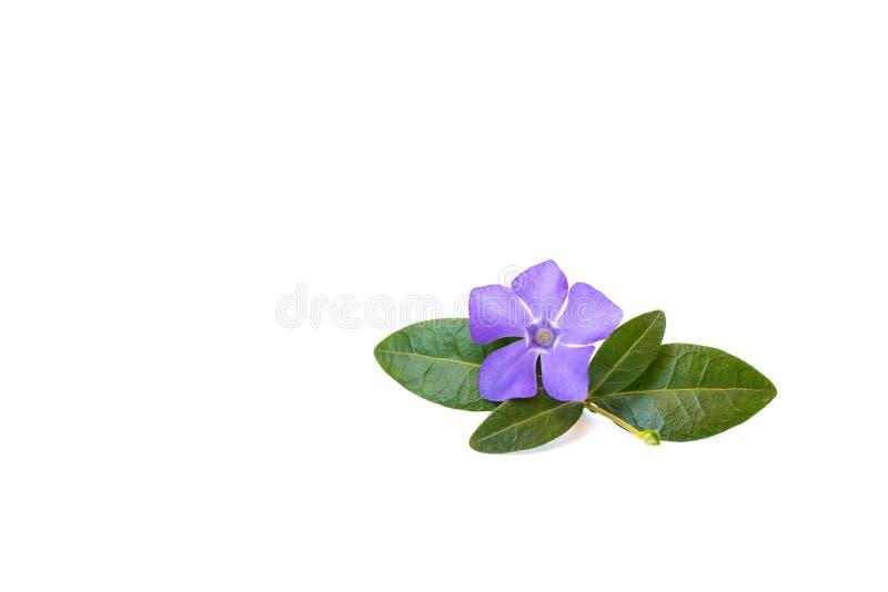 Fiore della vinca su un fondo isolato bianco Primo piano Fiore luminoso e bello, umore di estate fotografia stock