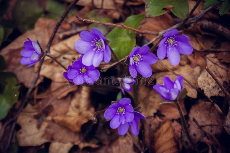 Fiore della viola del fiore fotografia stock
