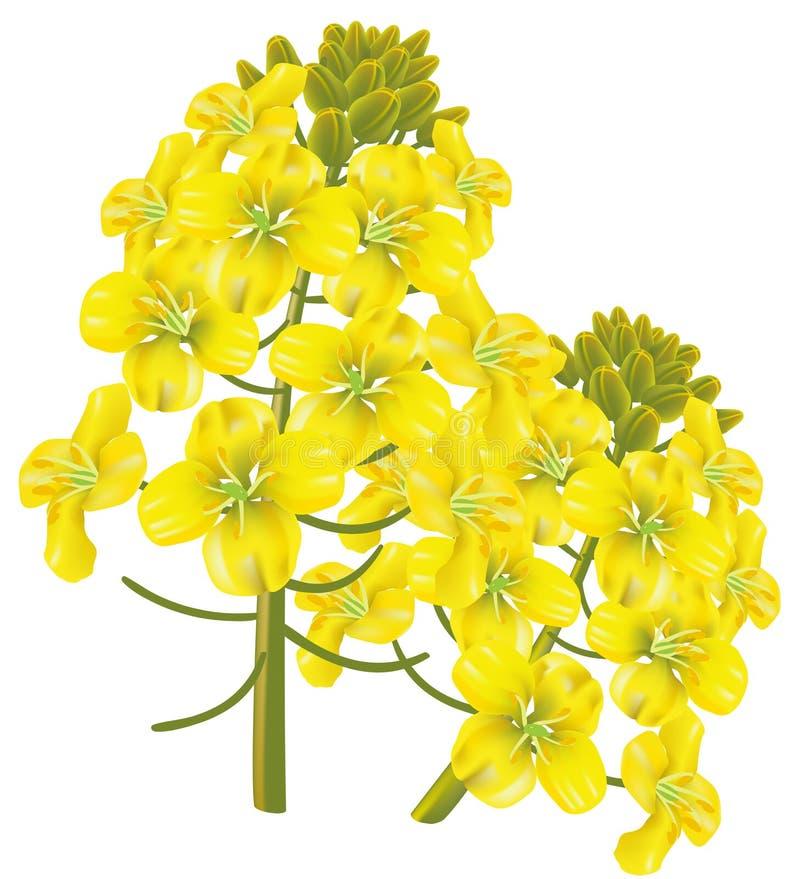 Fiore della violenza (napus del brassica). Illustrazione di vettore. illustrazione vettoriale