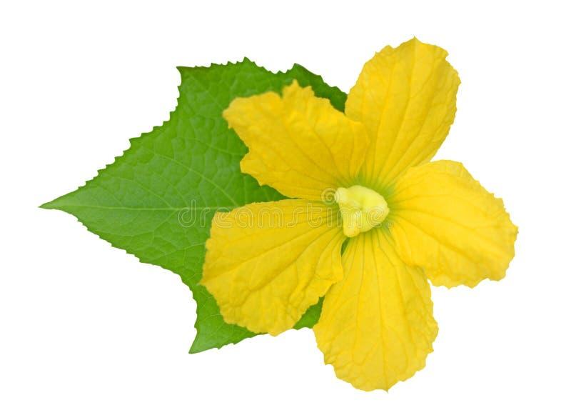 Fiore della zucca di Opo fotografie stock