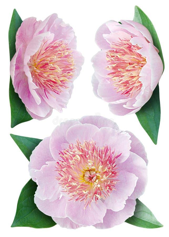 Fiore delle peonie fotografie stock