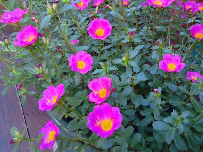 Fiore delle peonie fotografia stock