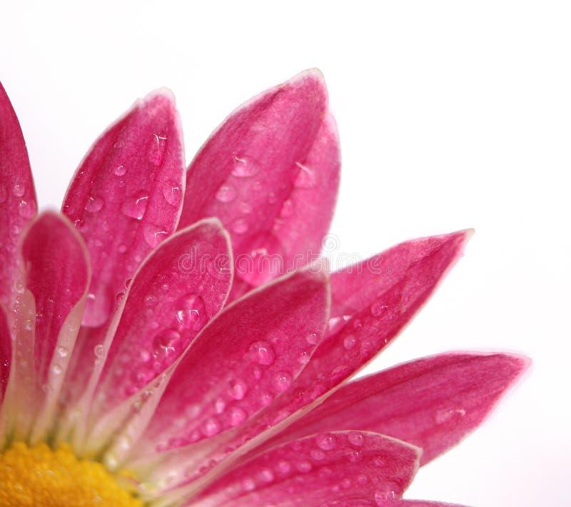 Fiore dentellare del crisantemo immagine stock libera da diritti