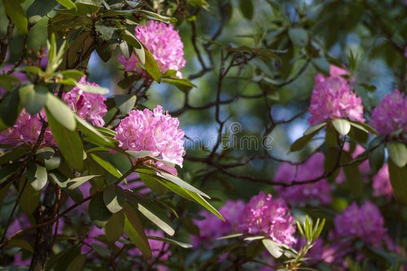 Fiore dentellare dell'azalea fotografie stock libere da diritti