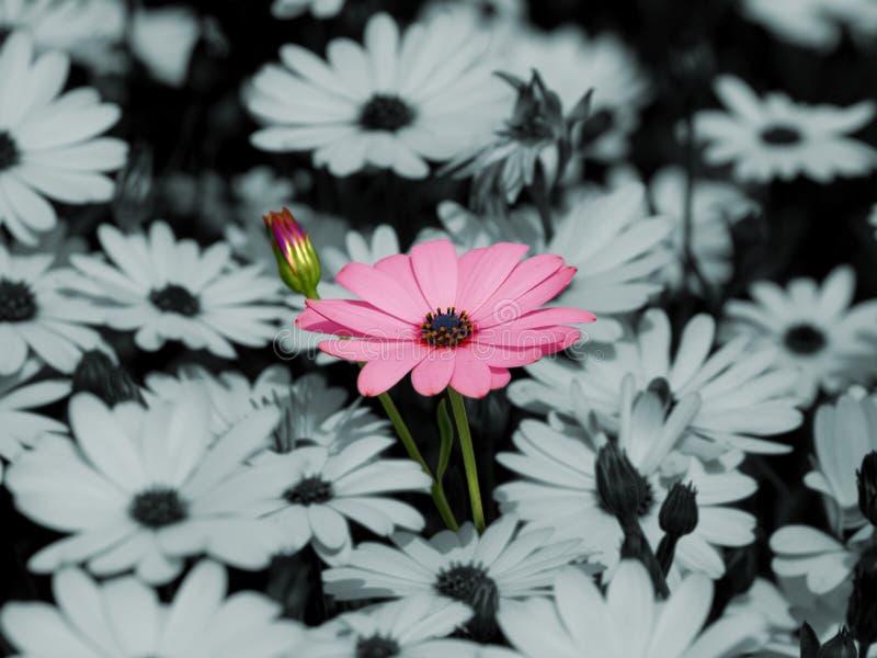 Fiore dentellare della margherita fotografie stock