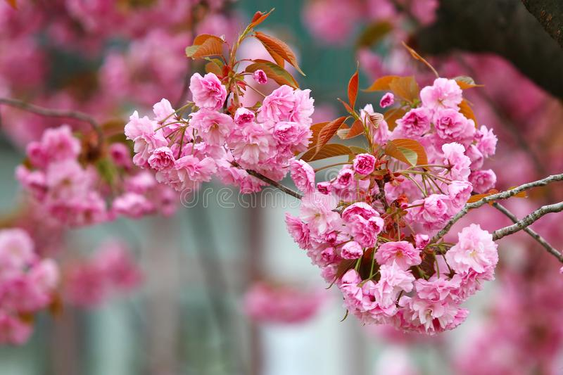 Fiore dentellare di Sakura fotografie stock
