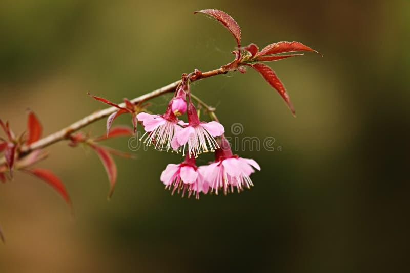Fiore dentellare di Sakura fotografie stock libere da diritti