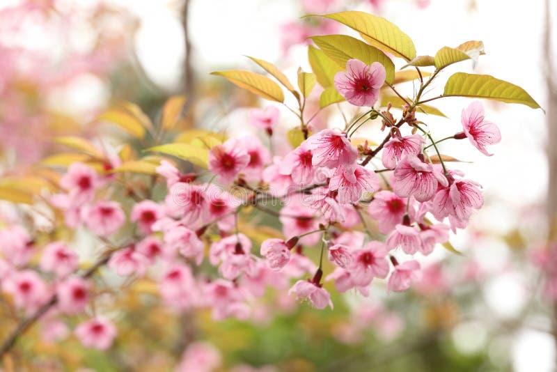Fiore dentellare di Sakura fotografia stock libera da diritti