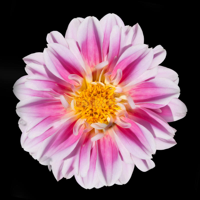 Fiore dentellare e bianco della dalia isolato sul nero fotografia stock