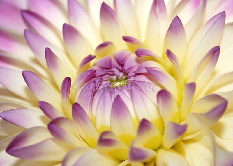 Fiore dentellare a macroistruzione fotografia stock