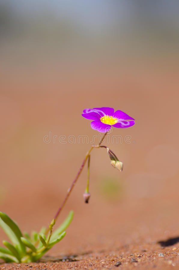 Fiore in deserto immagine stock libera da diritti