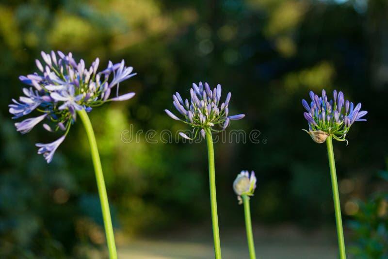 fiore di Agapanthus Fiore di agapanthus viola Fiori di fiori di giardino in primavera fotografia stock