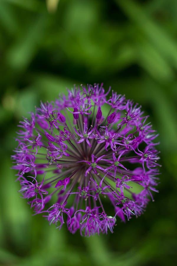 Fiore di Alluim fotografia stock libera da diritti