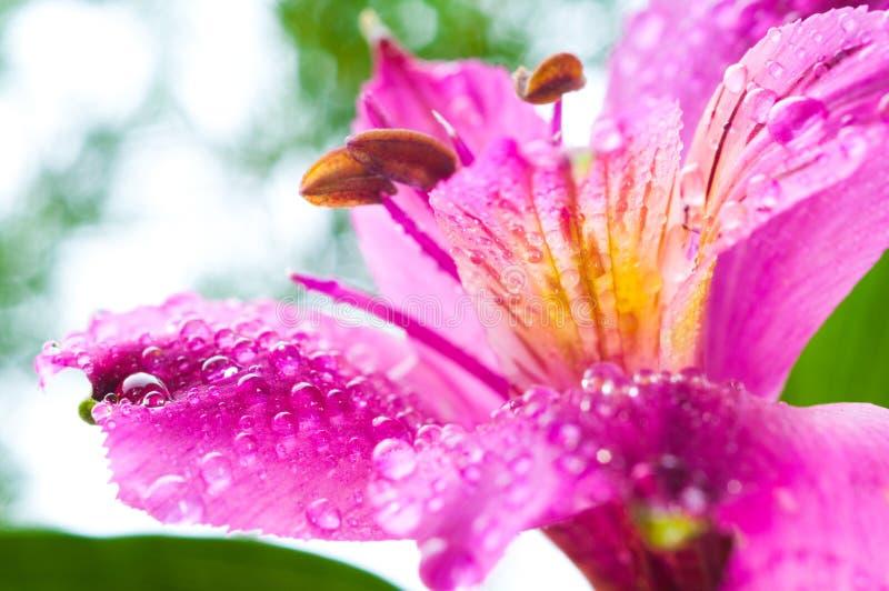 Fiore di Alstroemeria/e rugiada di goccia fotografia stock