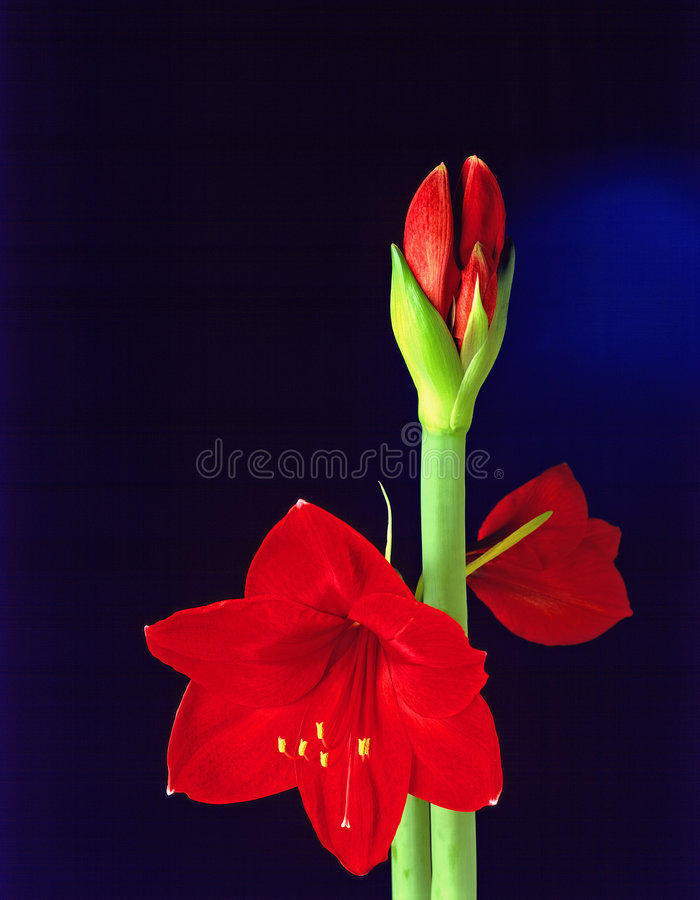Fiore di Amarillis