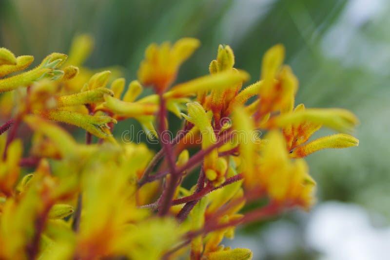 Fiore 2 di Anigozanthos immagini stock