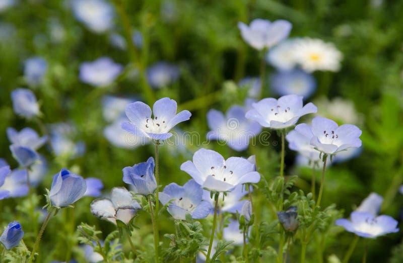 Fiore di armonia di Nemophila fotografie stock libere da diritti