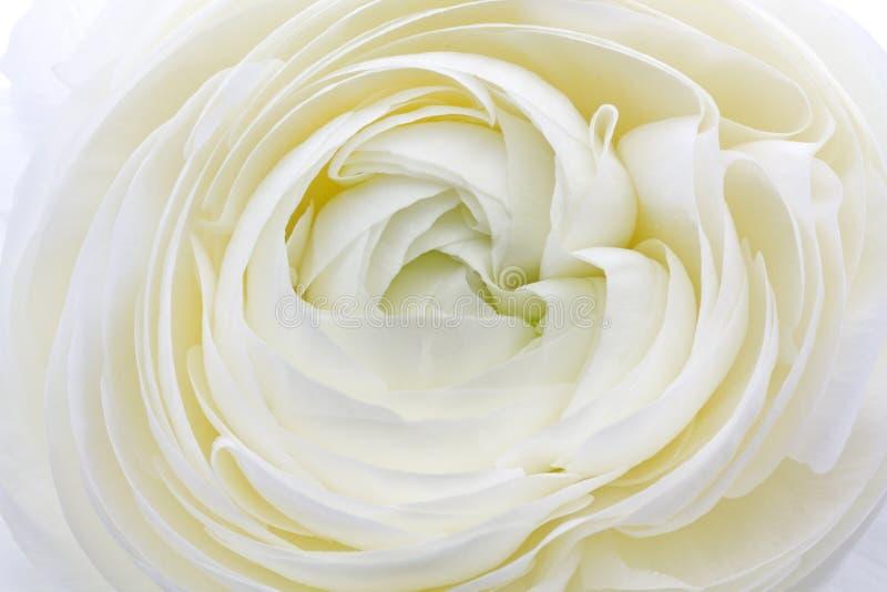 Fiore di Asiaticus del ranunculus immagine stock