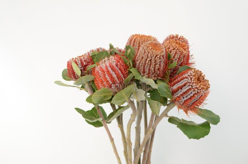 Fiore di Banksia su un fondo isolato bianco immagine stock libera da diritti