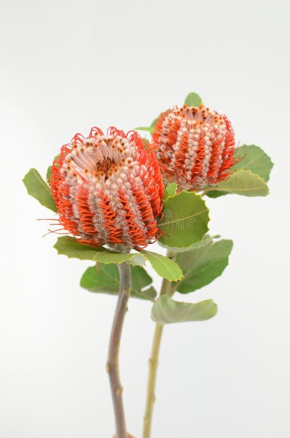 Fiore di Banksia su un fondo isolato bianco fotografie stock libere da diritti