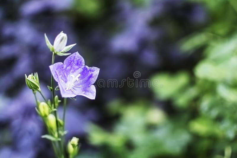 Fiore di Bell con il fuoco molle fotografia stock