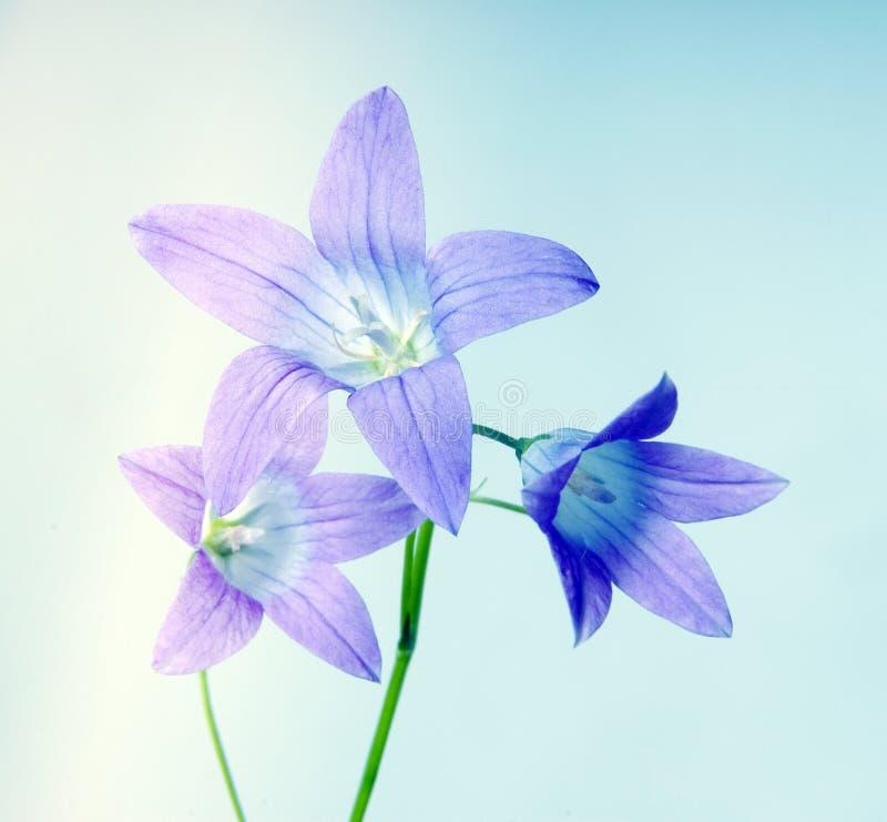Fiore di Bell sull'azzurro fotografia stock libera da diritti