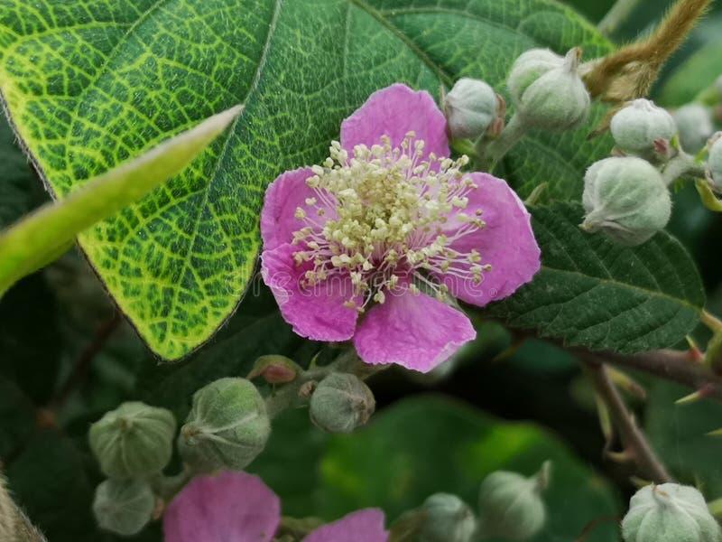 Fiore di Blackberry fotografia stock libera da diritti