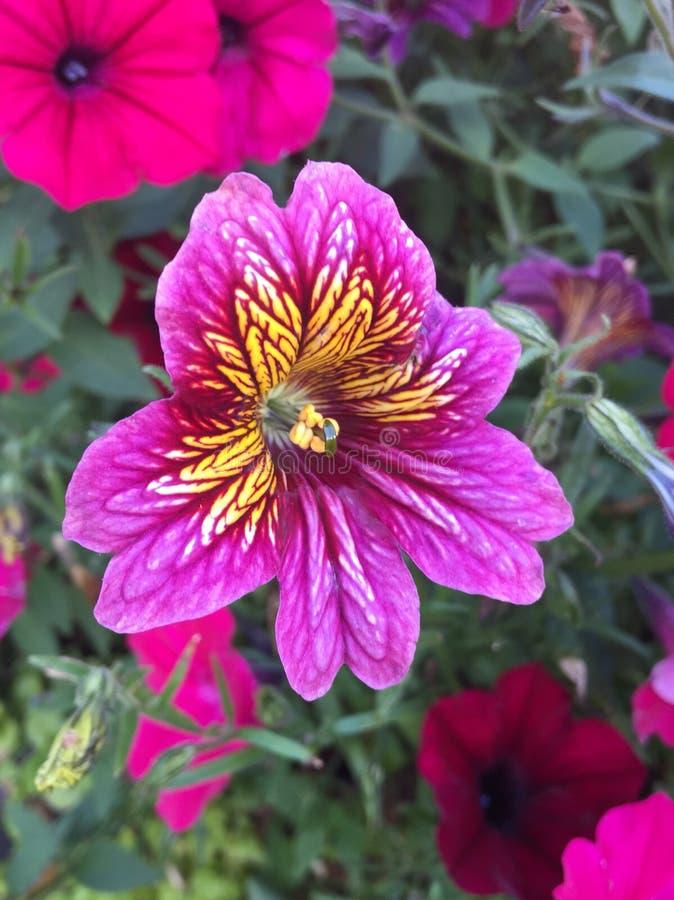 Fiore di Blomma fotografie stock