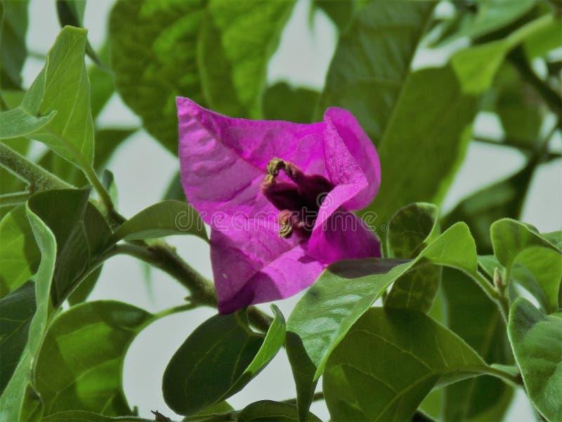 Fiore di Bouganvillea fotografia stock libera da diritti