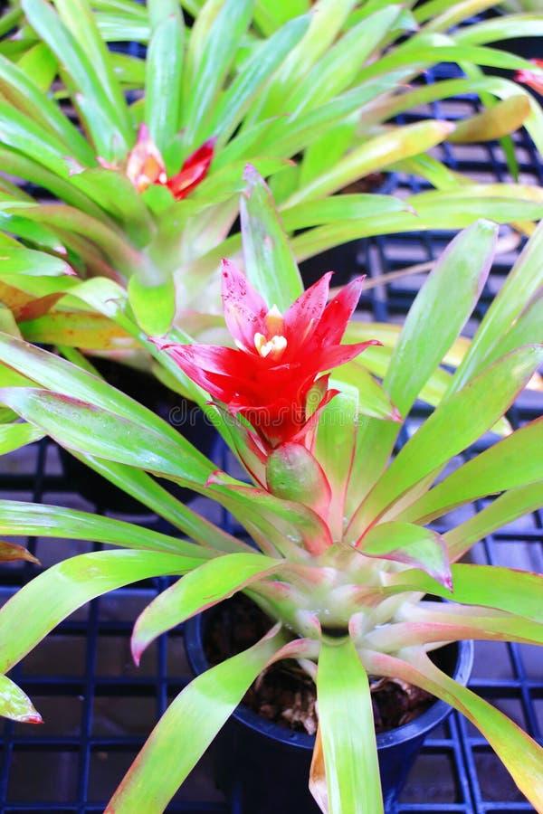Fiore di Bromeliad fotografie stock