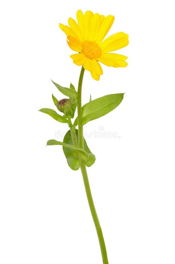 Fiore di calendula officinalis immagini stock libere da diritti