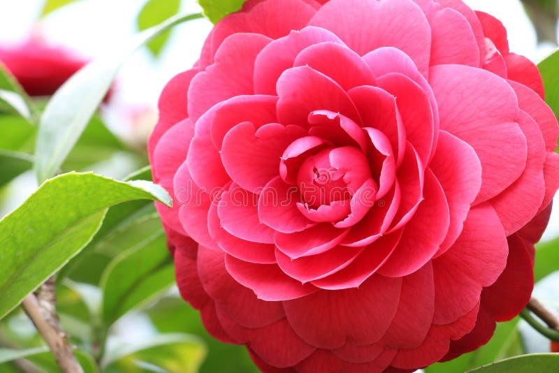 Fiore di camelia immagine stock immagine di pianta for Camelia rossa