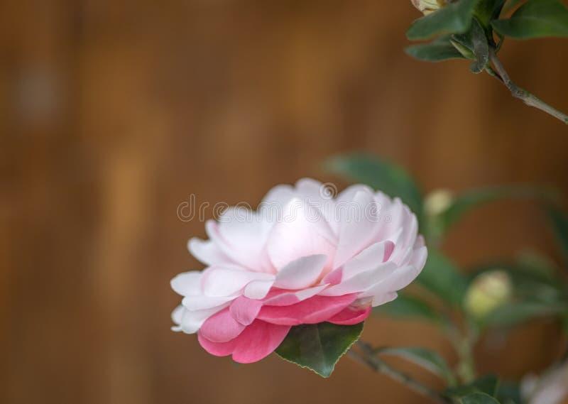 Fiore di camellia bianca rossa in fiore in primavera fotografie stock