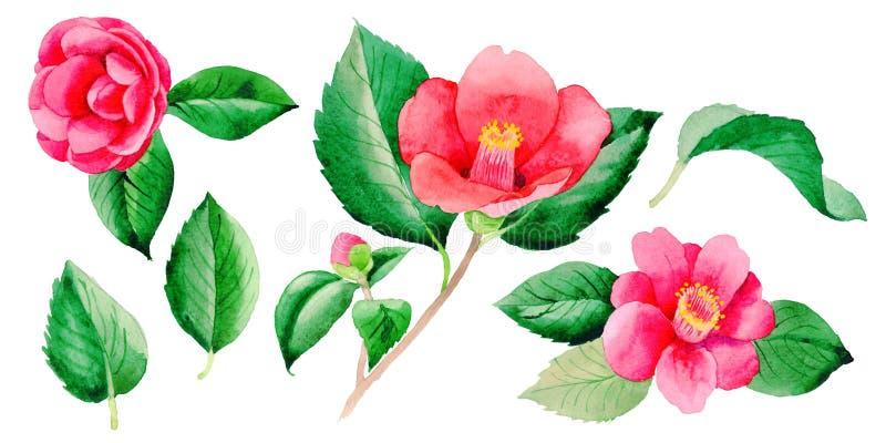 Fiore di Camellia Japanese del Wildflower in uno stile dell'acquerello isolato illustrazione vettoriale