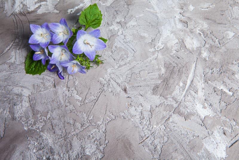 Fiori Con La C.Fiore Di Campana Bianco E Porpora Bello Fondo Della Molla Con La C