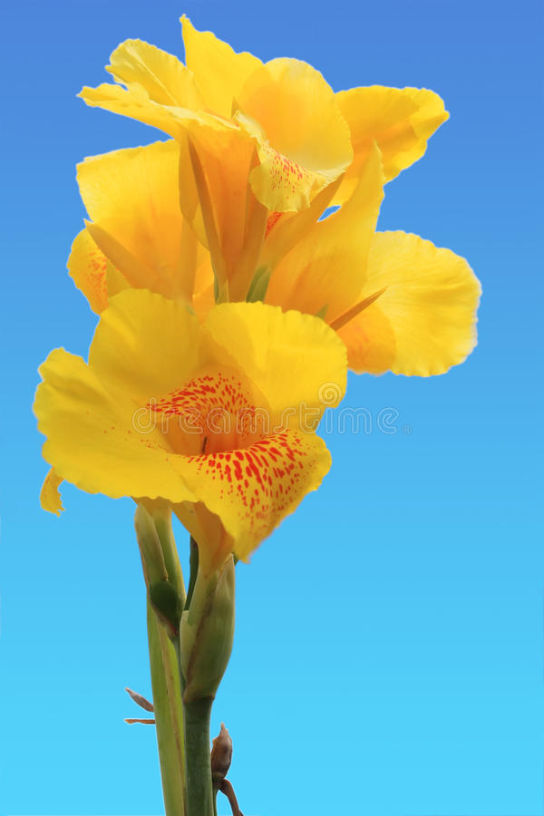 Fiore di Canna fotografie stock libere da diritti
