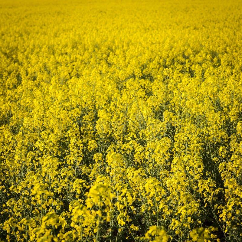 Fiore di Canola fotografie stock