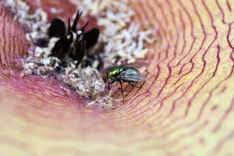 Fiore di Carrion e mosca di colpo immagini stock libere da diritti