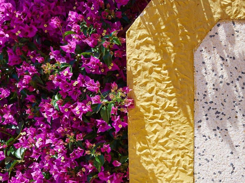 Fiore di carta di fioritura della buganvillea immagine stock